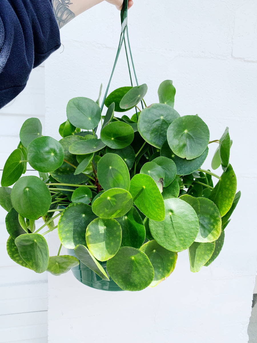 Pilea peperomioides basket *Local Pickup / Delivery Only*
