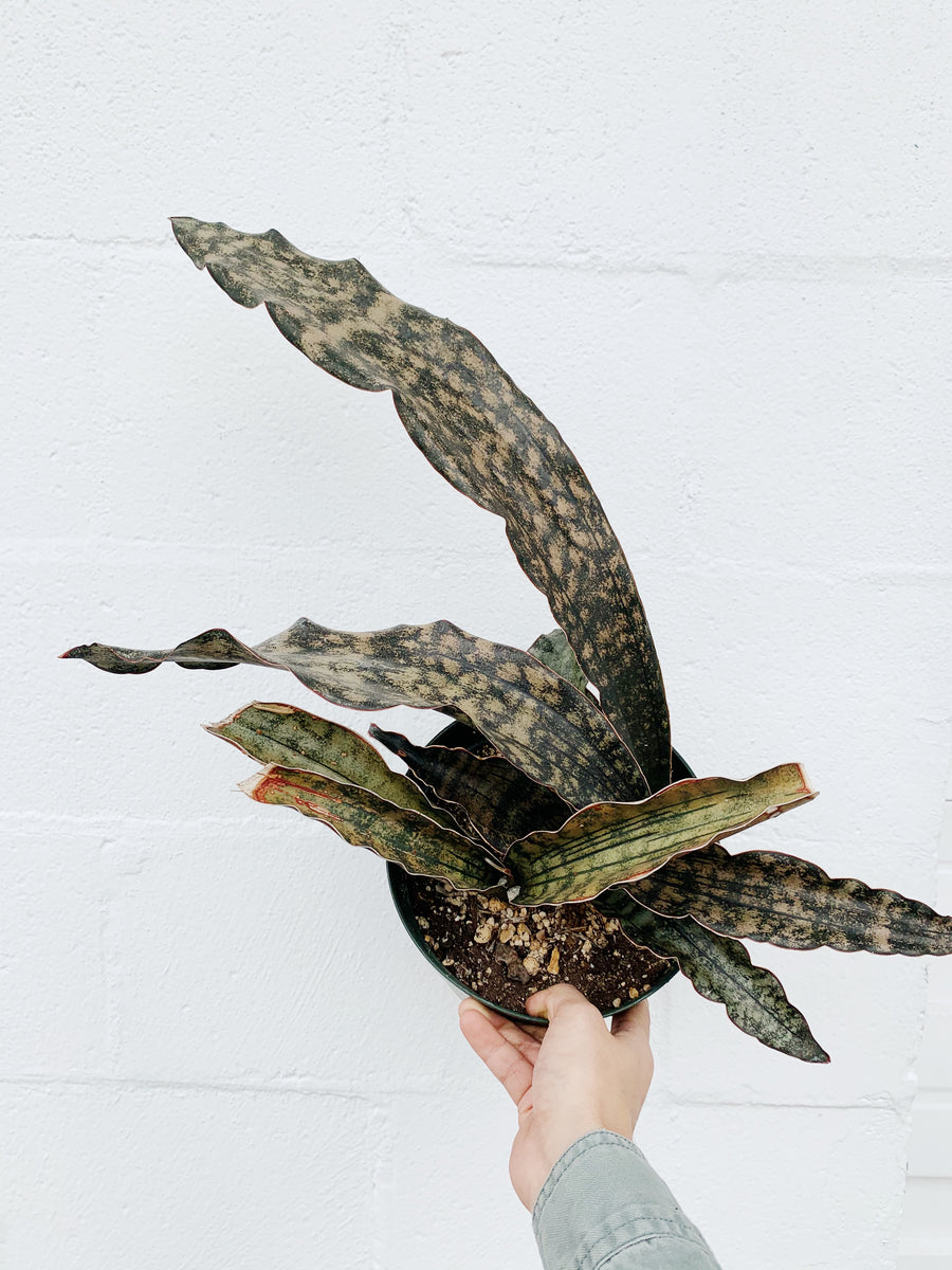 Dracaena kirkii *Local Pickup/Delivery Only*