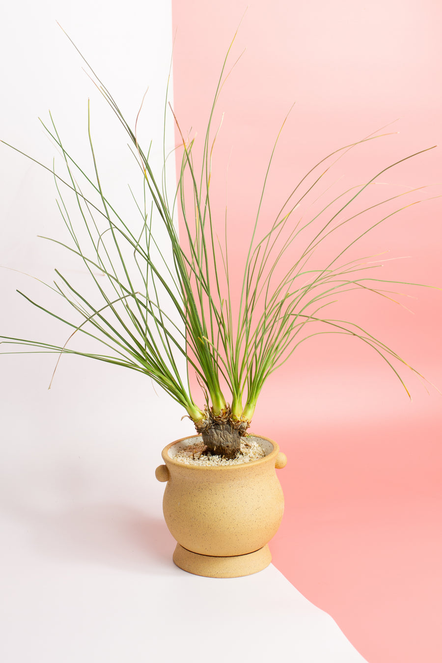 Potted Calibanus hookeri
