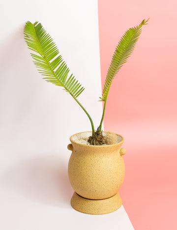 Potted Dioon edule