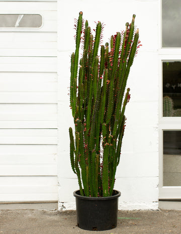 Euphorbia trigona sp. *Local Pickup/Delivery Only*
