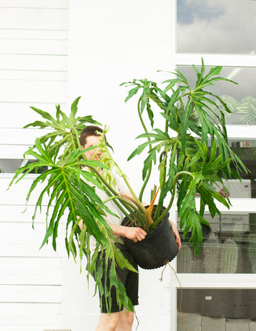 Philodendron radiatum *Local Pickup/Delivery Only*