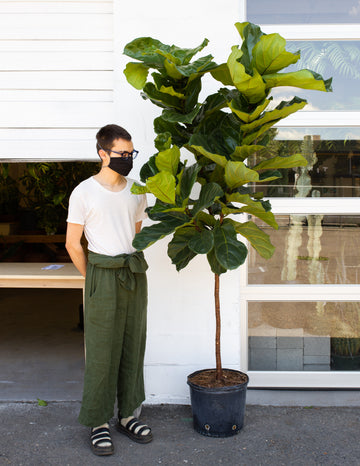 Ficus lyrata *Local Pickup & Delivery Only*