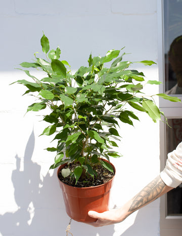 Ficus benjamina *Local Pickup & Delivery Only*