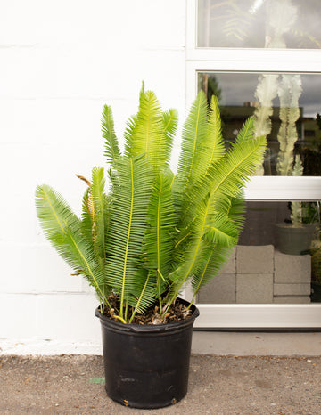 Dioon edule XXL *Local Pickup/Delivery Only*