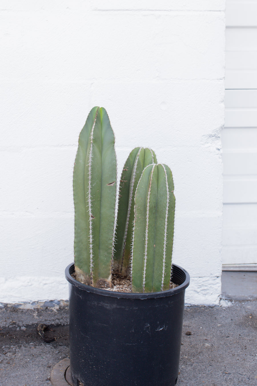 Pachycereus marginatus *Local Pickup/Delivery Only*