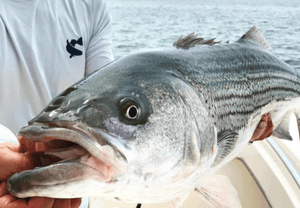 Sportfishing Community Criticizes Maryland's Approach to Striped Bass Management