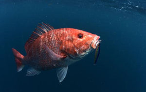 U.S. Commerce Secretary Wilbur Ross Moving to Save South Atlantic Red Snapper Fishery