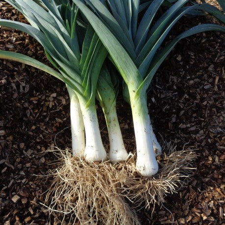 Bleu de Solaize Leek - Heirloom!