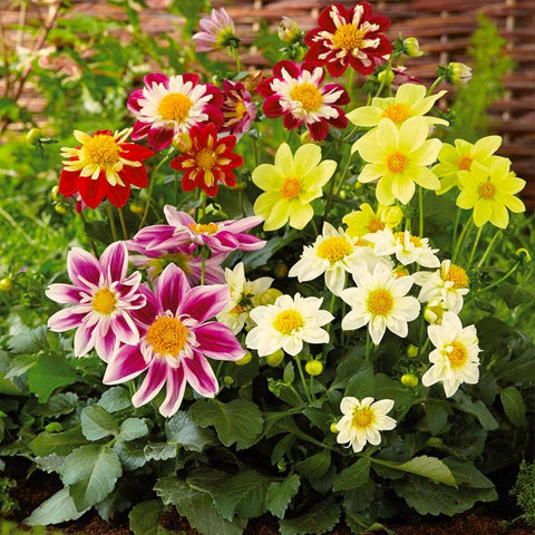 Harlequin Mix Dahlia