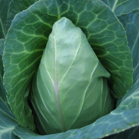 Early Jersey Wakefield Cabbage - Heirloom!