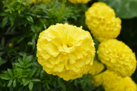 First Lady Marigold