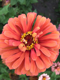 Jim Baggett's Choice Mix Zinnia