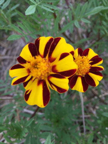 Pinwheel Marigold - Heirloom!