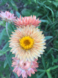 Apricot Mix Strawflower