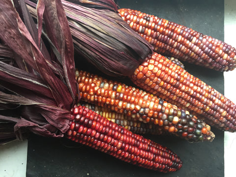 Seneca Red Stalker Corn