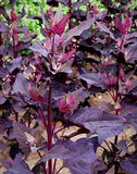 Magenta Magic Orach