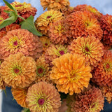 Queen Lime Orange Zinnia