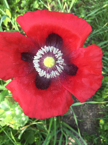 Red Bread Seed Poppy