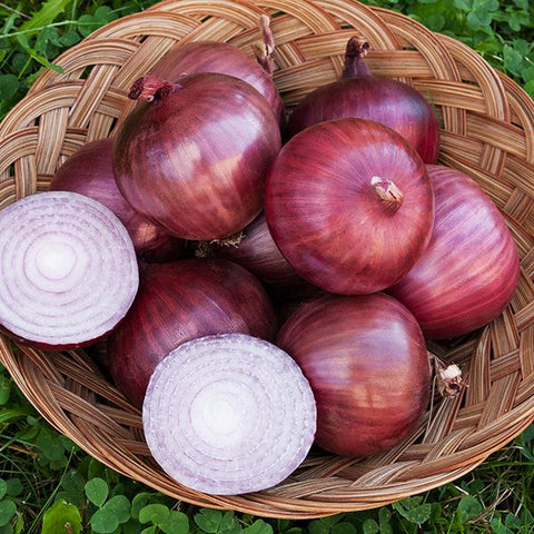 Rossa di Milano Onion - Heirloom!
