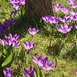 Crocus, 'Ruby Giant'