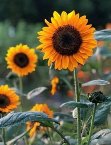 Soraya Sunflower