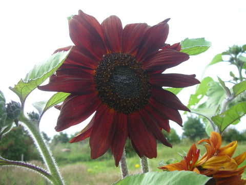 Velvet Queen Sunflower