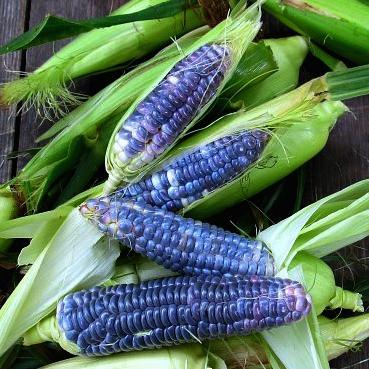 Blue Jade Corn