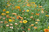Flashback Mix Calendula