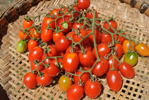 Grappoli d'Iverno Tomato - Heirloom!