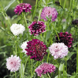 Pincushion Mix Scabiosa