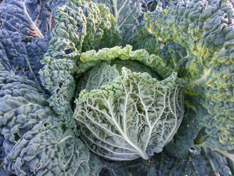 Aubervilliers Cabbage - Heirloom!