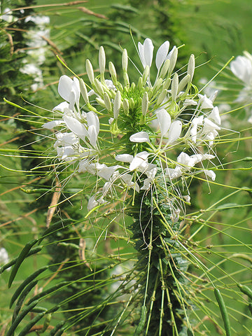 White Queen Cleome