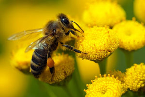 8 Health Benefits of Bee Pollen