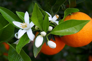 Raw Orange Blossom Honey Benefits