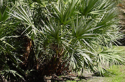 saw palmetto in Florida delicious home remedy with loads of health benefits