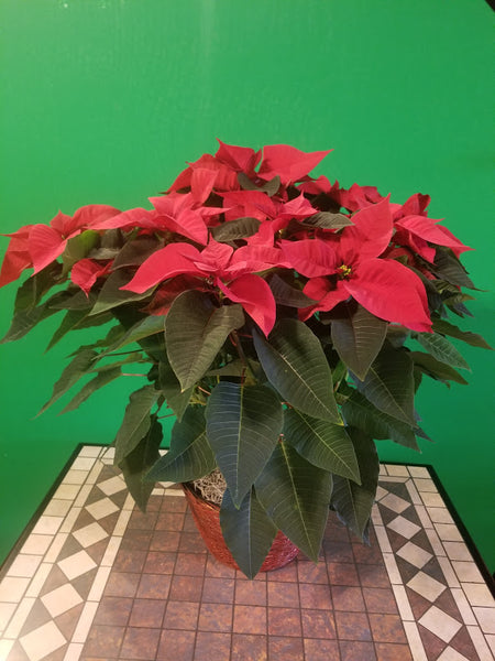 pointsettia basket