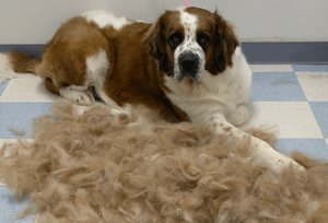 How to Stop or Minimize Excessive Shedding in Dogs