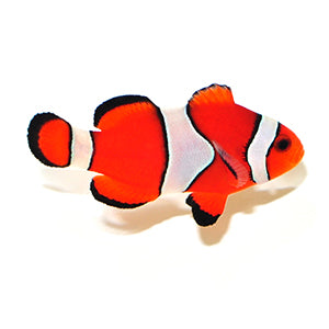 FALSE PERCULA OCELLARIS CLOWNFISH - CAPTIVE BRED - A Real Live NEMO Fish - Medium
