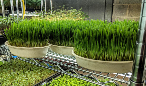 Certified Naturally Grown Microgreens