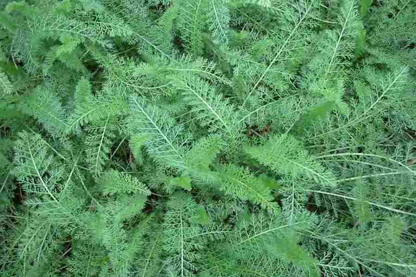 Yarrow Greens