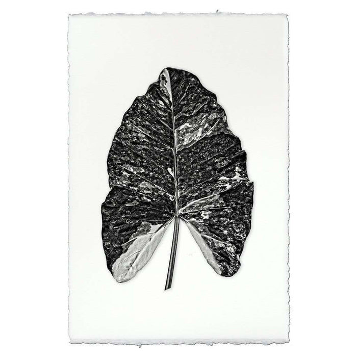 BARLOGA-ArrowheadLeafPrint - Parent  - arrowhead leaf print