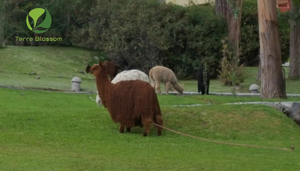 Did You Know There Are Two Main Types Of Alpaca?