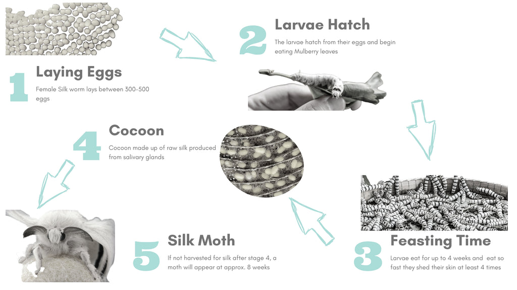 Infographic showing the life cycle of the Silkworm