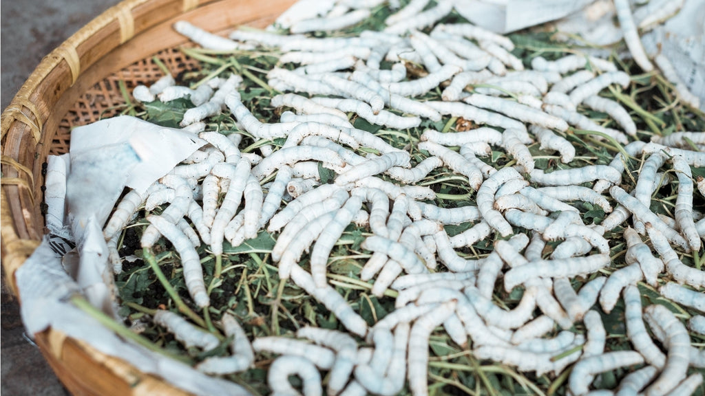 A bund of silkworms eating Mulberry leaves