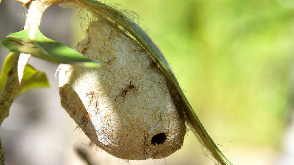 Wild Silk cocoon hanging from a leave in Madagascar