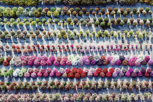 PENNY LANE | Aerial Flower Farm |  Photographic Prints