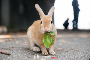 ABlyth Photo Download: Okunoshima Rabbit Munching