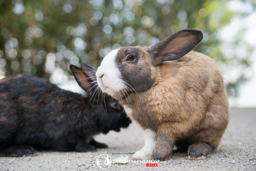ABlyth Photo Download: Okunoshima Rabbits, Bunny-buddies