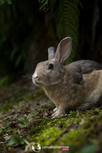 ABlyth Photo Download: Okunoshima Rabbit Peering